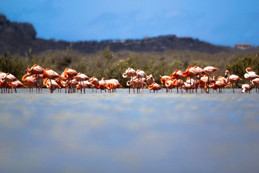 Flamingo's spotten op Curacao