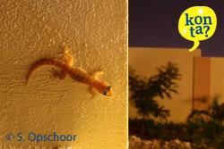 Gecko Curacao