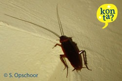 kakkerlakken Curacao