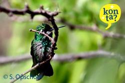 kolibrie Curacao