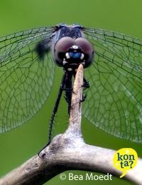 Libelle Curacao dragonfly