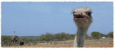 ostrich-farm-curacao-1