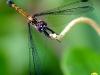 libelle-curacao-01