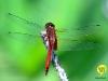 libelle-curacao-03