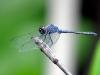 libelle-curacao-07
