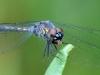 libelle-curacao-08