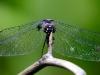 libelle-curacao-09