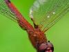 libelle-curacao-10