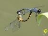 libelle-curacao-12