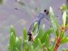 libelle-curacao-13